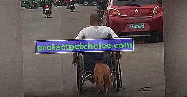 Postižený tento muž na invalidním vozíku může počítat s bezpodmínečnou podporou svého psa, který ho tlačí a doprovází ho všude!