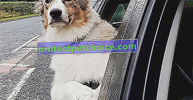 19 снимки, доказващи, че австралийските овчари са изключителни кучета