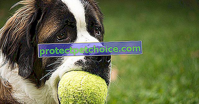 ¿Son peligrosas las pelotas de tenis para mi perro?