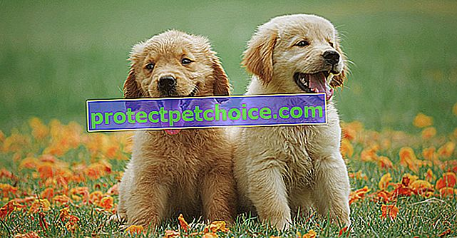 7-те най-упорити и трудни за обучение дребни породи кучета