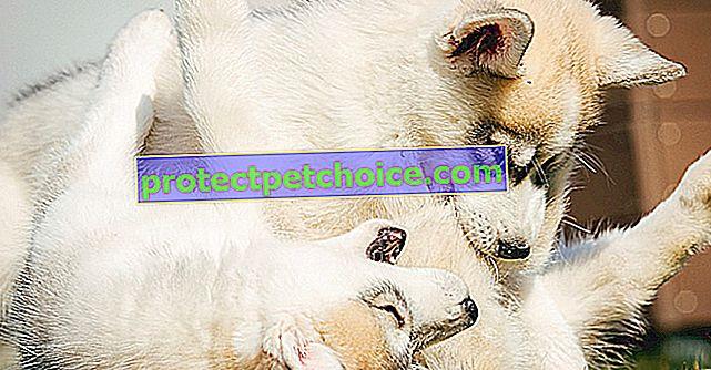 Конфликти между възрастни кучета и кученца