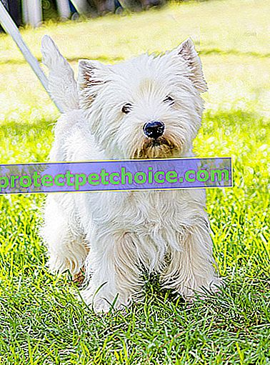 Foto: Pes West Highland White Terrier na zvířatech