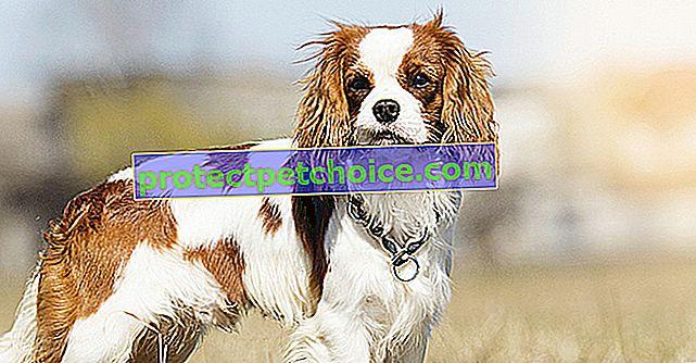 Zewnątrzwydzielnicza niewydolność trzustki (EPI) u psów