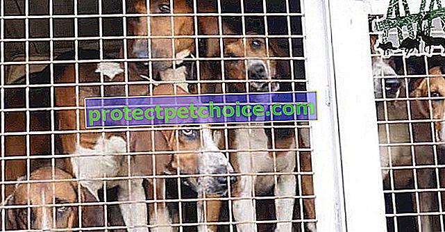 Колектив AVA засуджує полювання з гончими та умови життя використовуваних собак