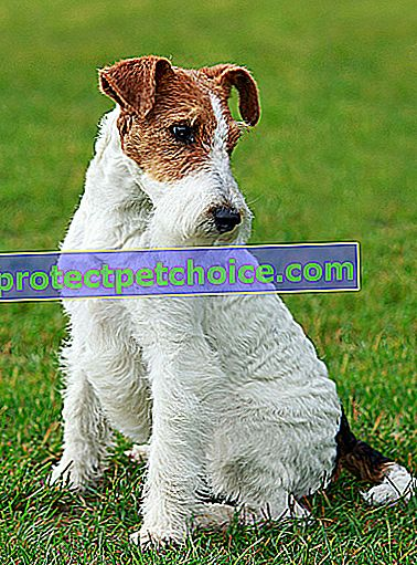 Zdjęcie: Fox Terrier Dog Breed on Pets