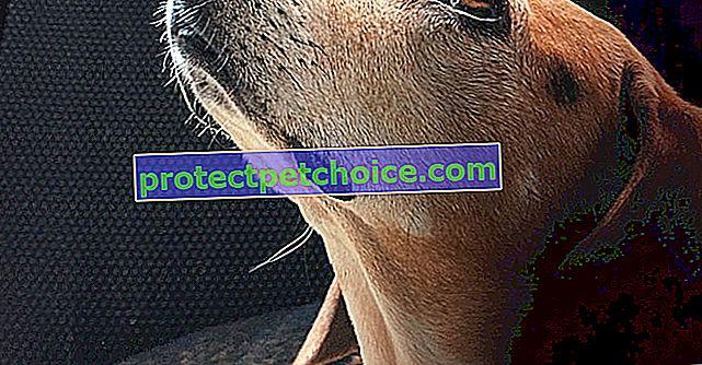 9 razas de perros considerados perros de terapia