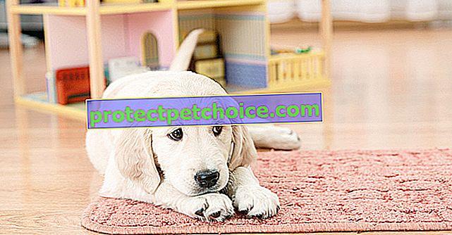 Yavru köpeğinizin eve gelişini hazırlayın