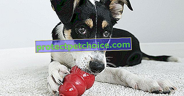Най-добрите играчки Конг, за да забавлявате кучето си