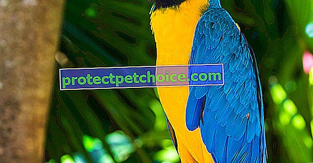 Синя и жълта ара