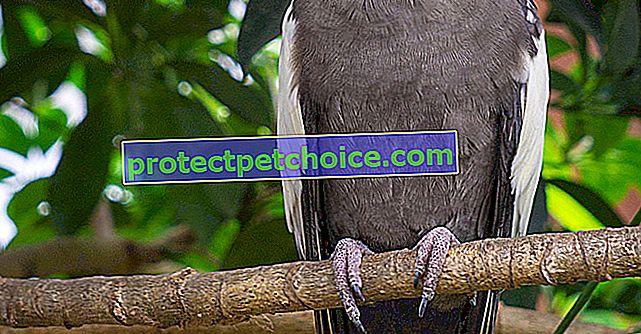 Елегантен кокетна папагал