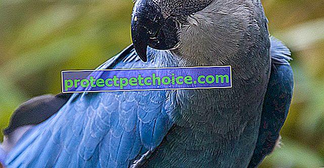 Spixův papoušek