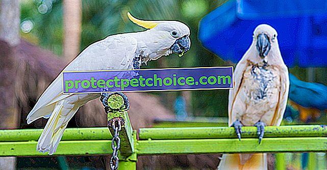 Razmnožavanje kod ptica pratilaca