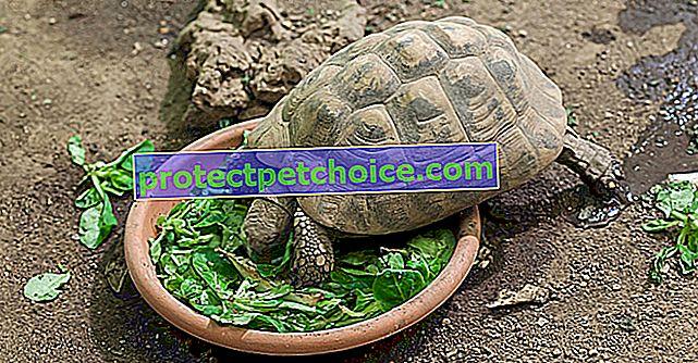 Hranjenje kornjače