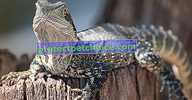 ¿Qué come un lagarto?
