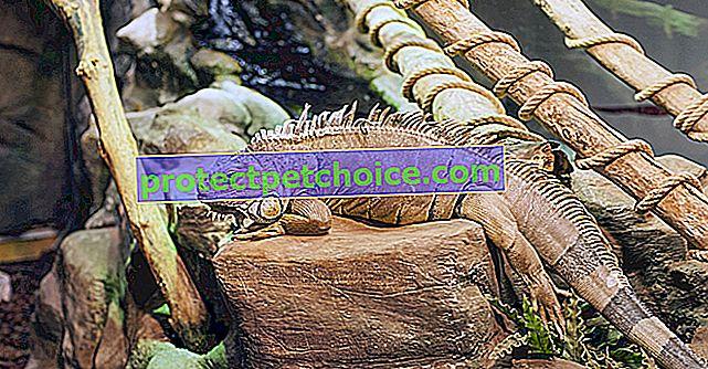 Elegir un terrario para tu iguana