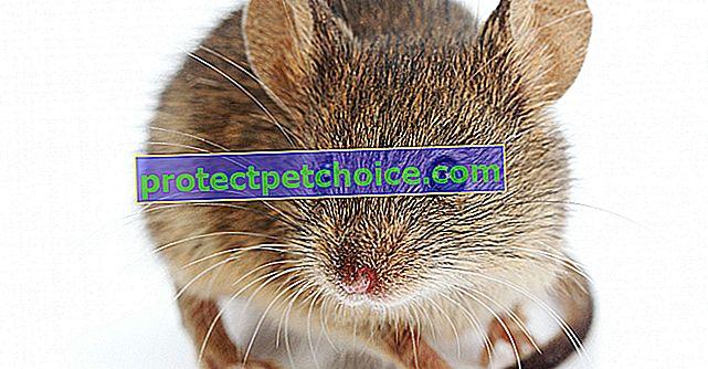 ¿Por qué mi ratón se come sus excrementos?