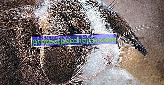 Устни проблеми при зайци