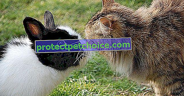 Tavşan ve kedi arasındaki birlikte yaşama
