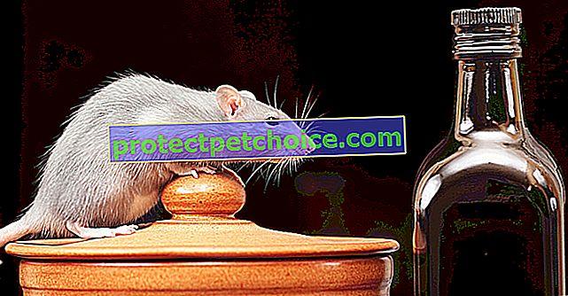 Potrebe vode za štakorima
