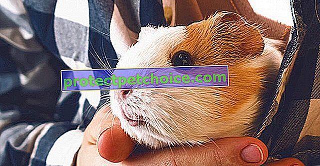 Adopta un conejillo de indias