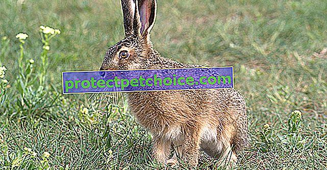 Reconoce el sexo de tu conejo