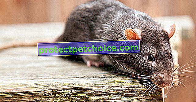 Ugrizi podgan