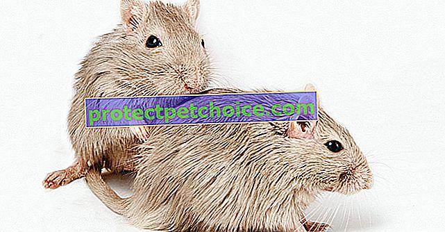Reprodukce u myší