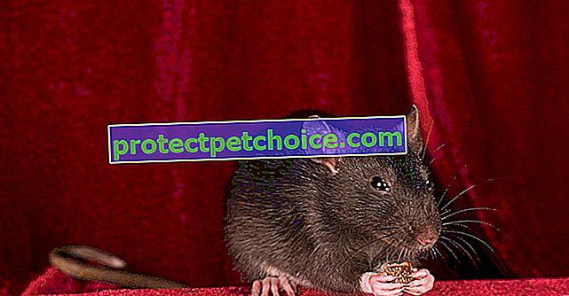 Hranjenje štakora