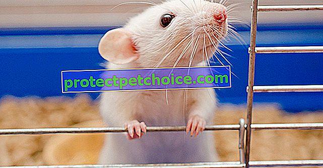 Elegir una jaula para tu rata