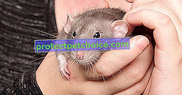 Как приручить крысу?