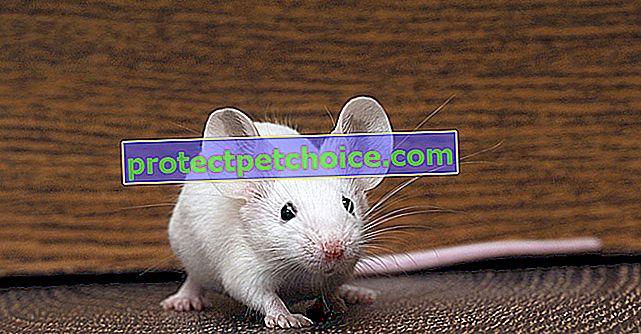 Kožní onemocnění u myší