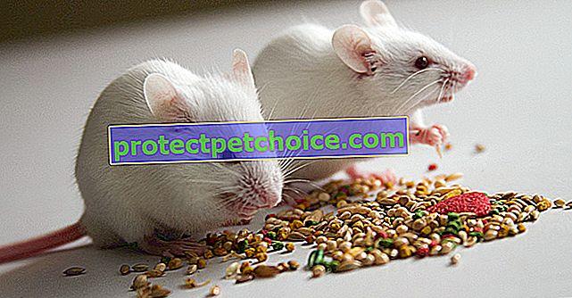 Сколько стоит мышь и где ее купить?