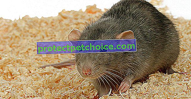 Výber skrinky na podstielku pre vášho potkana