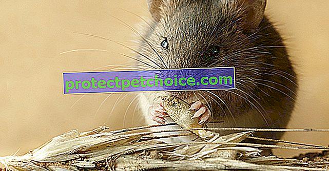 ¿Qué come un ratón?